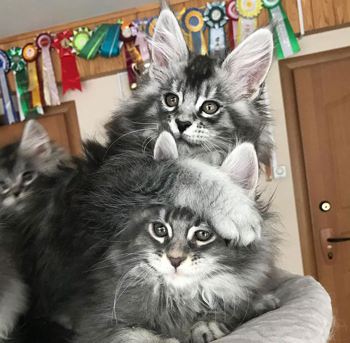 Maine Coon Kitten Siblings