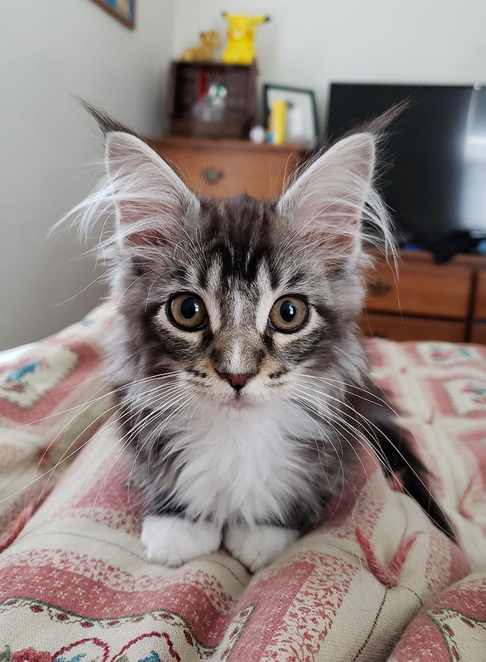 Maine Coon Kitten on Bed