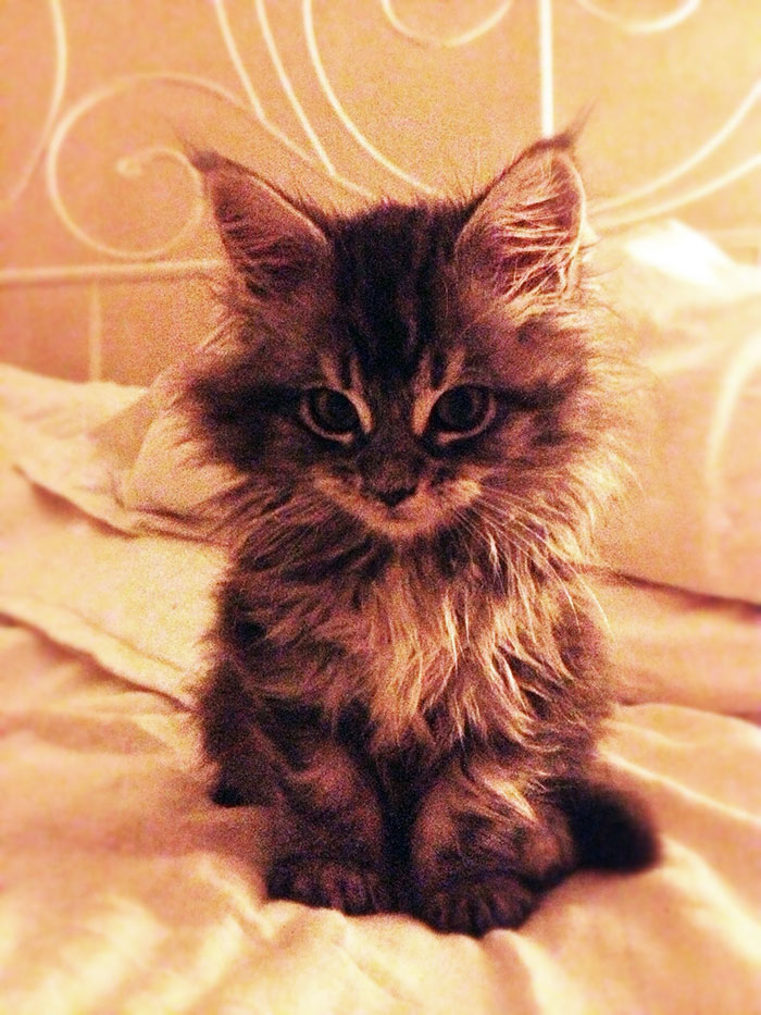 Maine Coon Kitten on a Bed