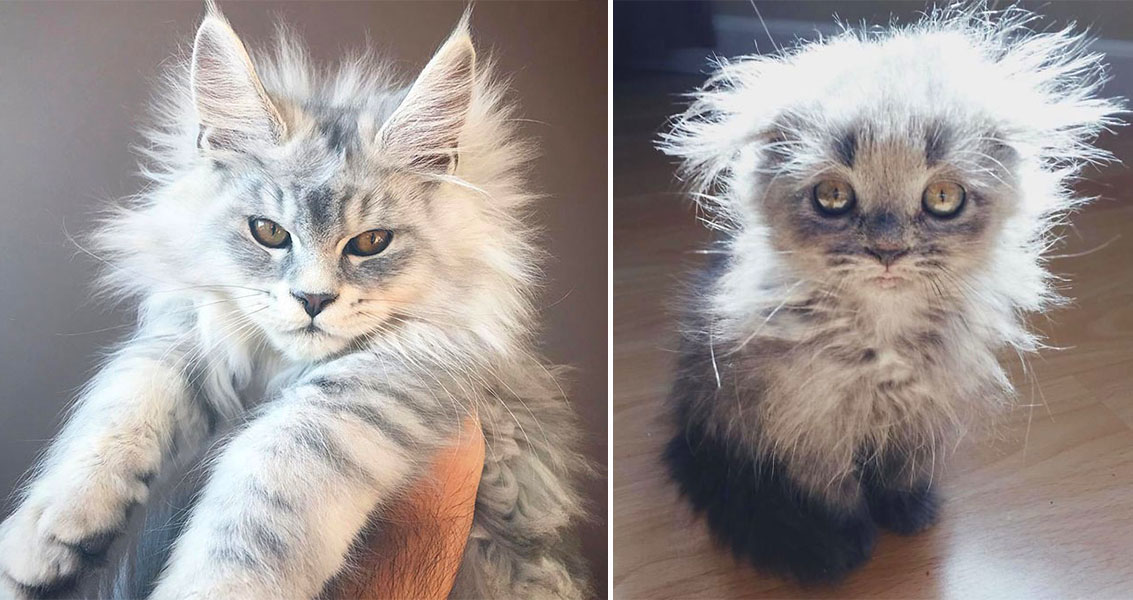 50 Cute Maine Coon Kittens That Are Future Giants In The Making