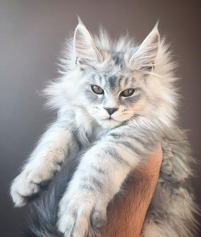 Maine Coon Kitten that Looks Like a Snow Tiger
