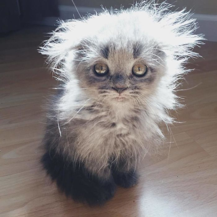 Maine Coon Kitten with Disheveled Fur