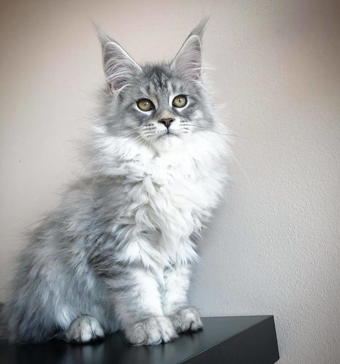 Maine Coon Kitten with White and Gray Fur
