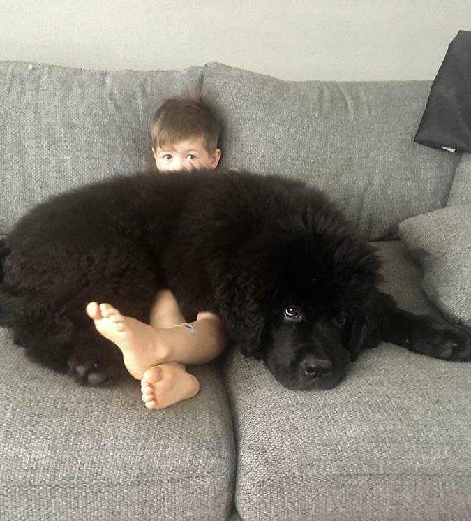 Newfoundland puppy lays on a boy's lap