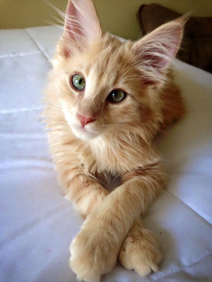 Orange Kitten Posing for the Camera