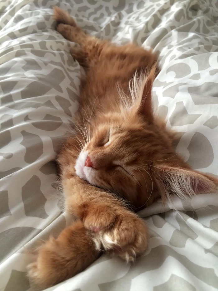 Orange Maine Coon Kitten Sleeping on a Bed