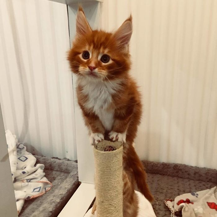 Orange Maine Coon Kitten on a Cat Tree