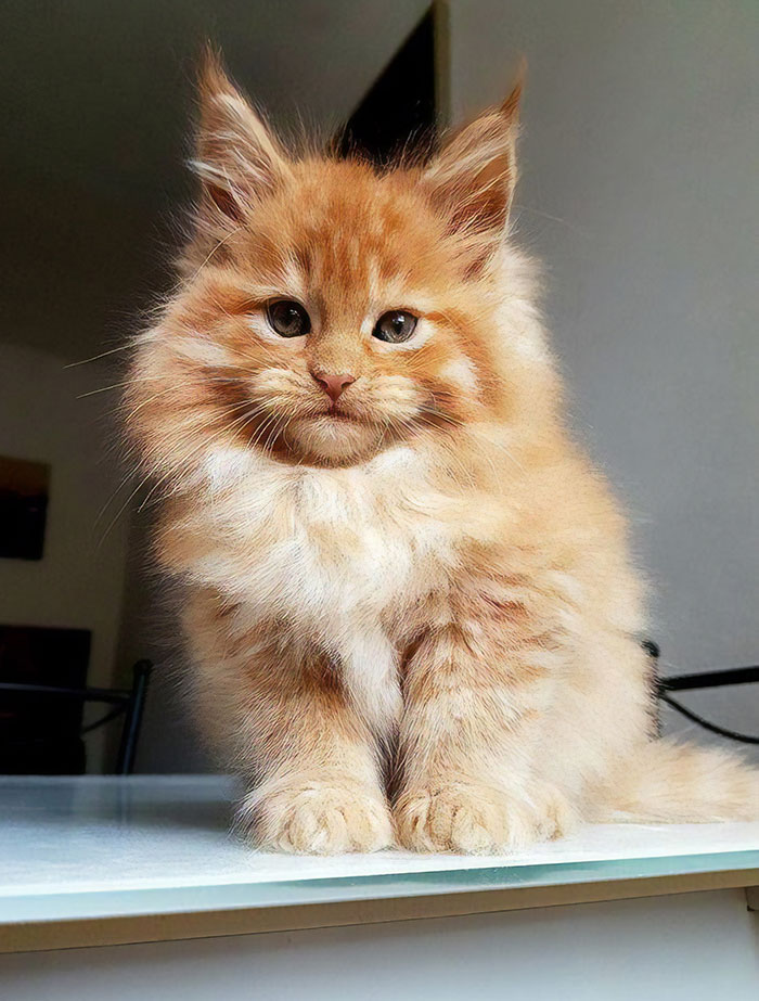 Orange Maine Coon Kitten