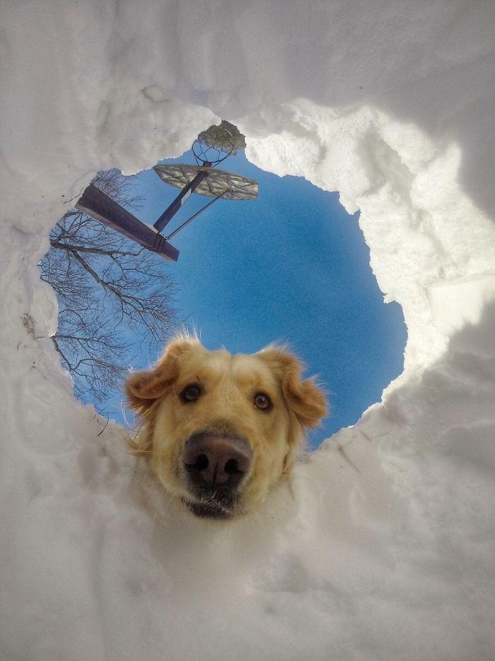 Retriever locates his snow-buried human