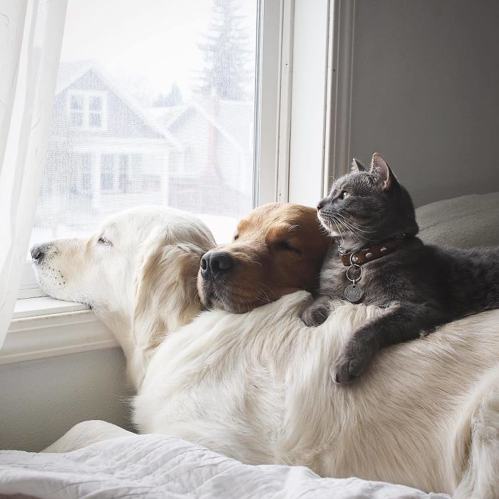 Retrievers naps together with cat