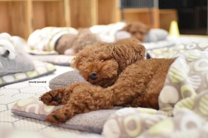 Sleeping Puppy in a Puppy Daycare Center Brown