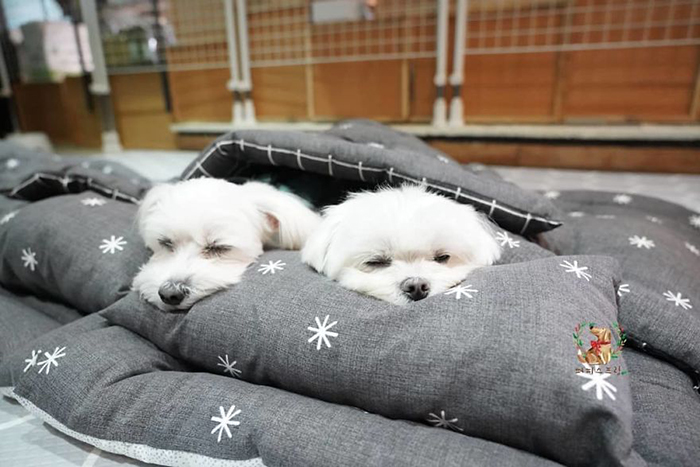 Two White Puppies Sleeping in a Puppy Daycare Center in Korea