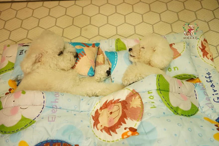 Two White Puppies Sleeping with Animal Print Blanket On in a Puppy Daycare Center