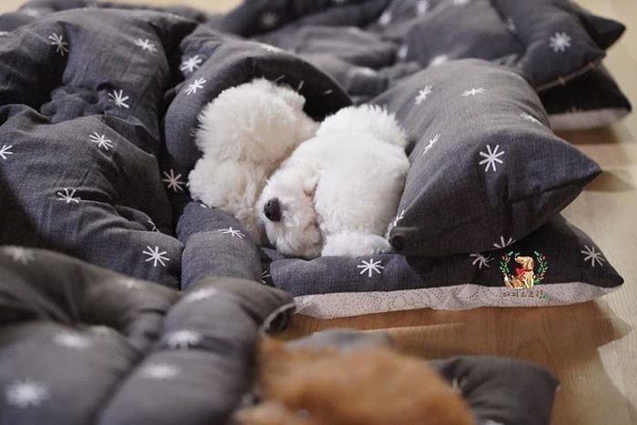 White Puppy Sleeping in a Puppy Daycare Center in Korea