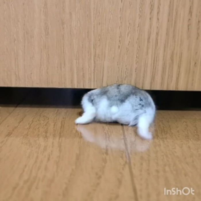 a hamster tries to scurry under furniture but bum won't fit