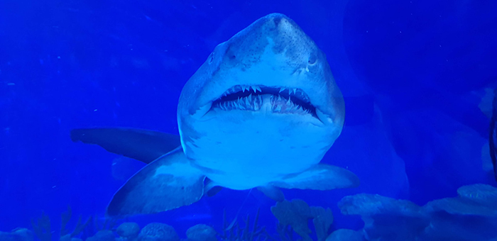 a shark in blue waters