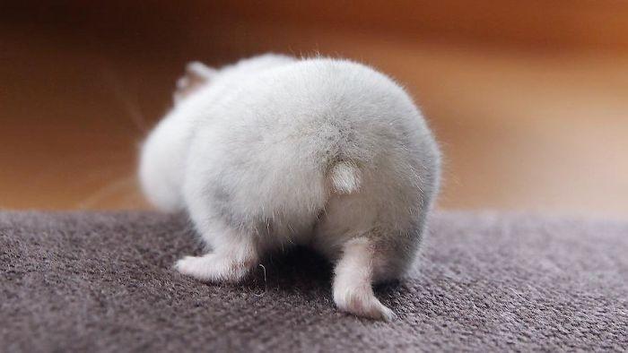 adorable hamster rear
