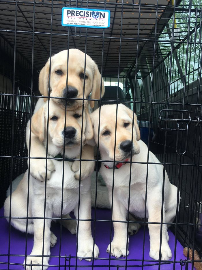 adorable retrievers in the trunk