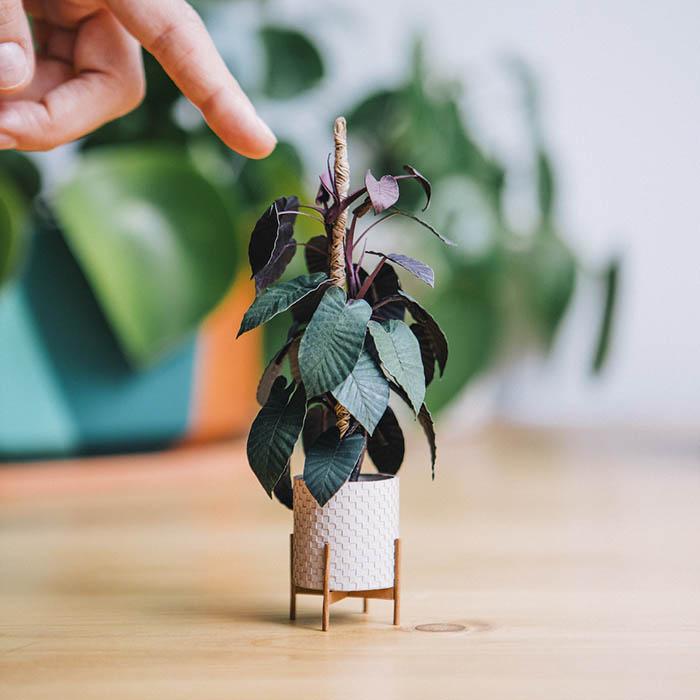 black cardinal philedendron paper plant