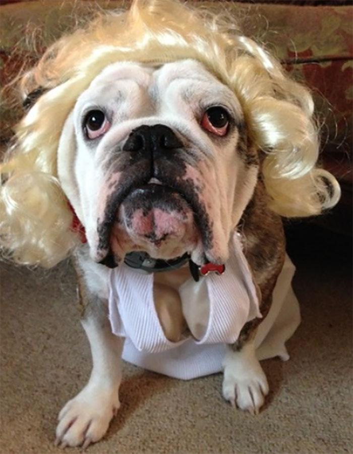bulldog costume