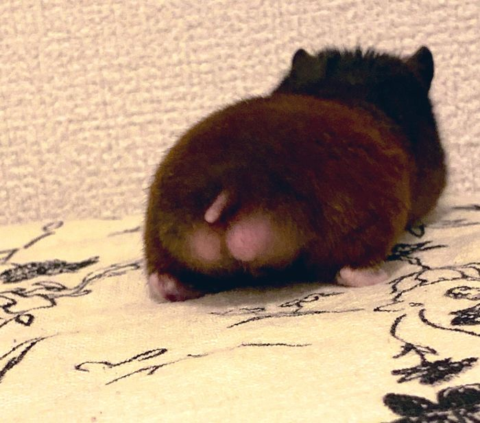 chocolate colored hamster with pink butt