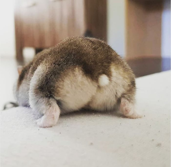 coffee colored hamster butt with white button tail