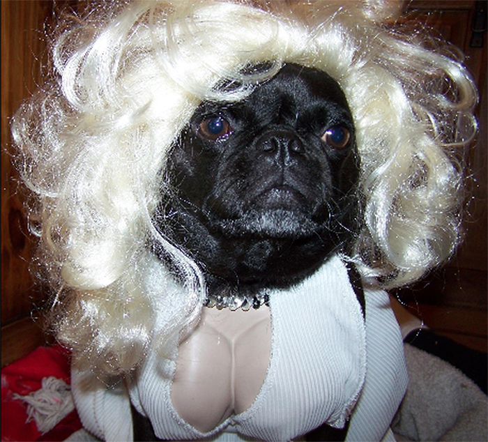dog dressed up blonde bombshell