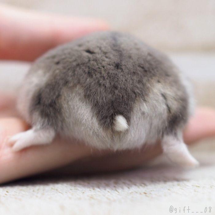 dusty gray hamster bum