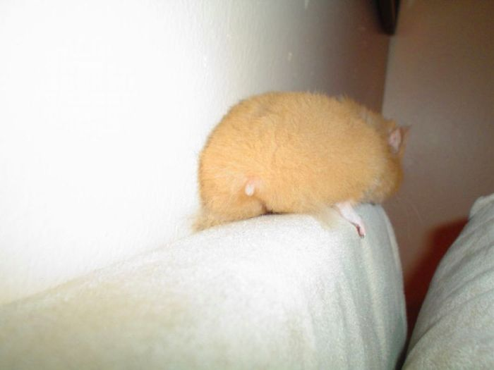 extremely furry hamster backside
