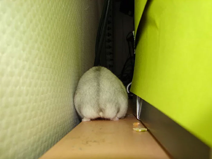 fat hamster squeezes between furniture