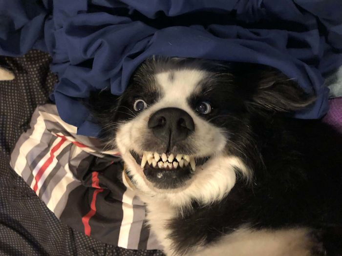 funny dog teeth evil smile