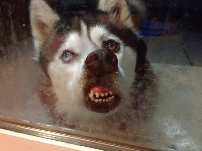 funny dog teeth mouth against the glass