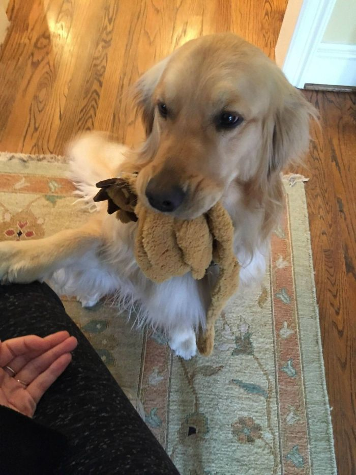 golden retriever must give gifts