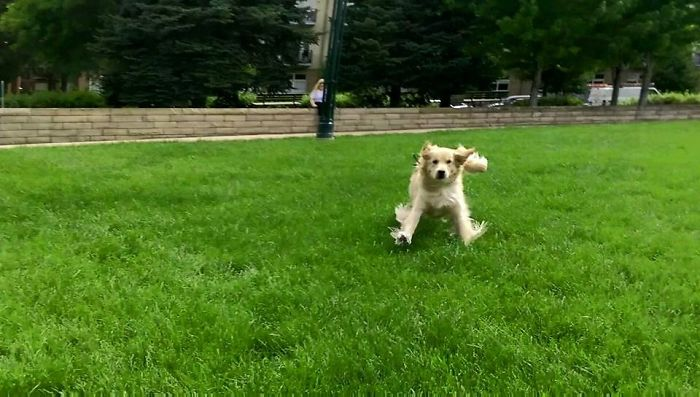 golden retriever runs toward its owner after being separated for 9 months