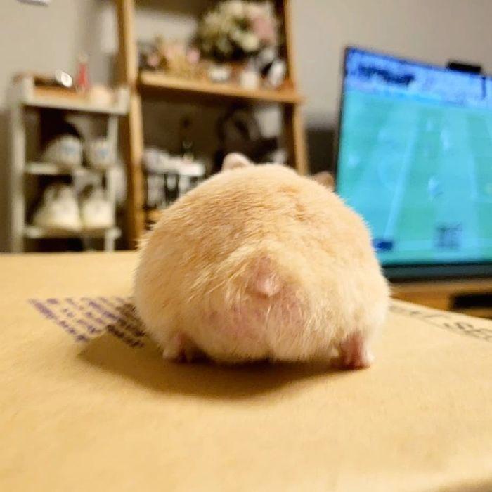 hamster bum looks like a bread bun