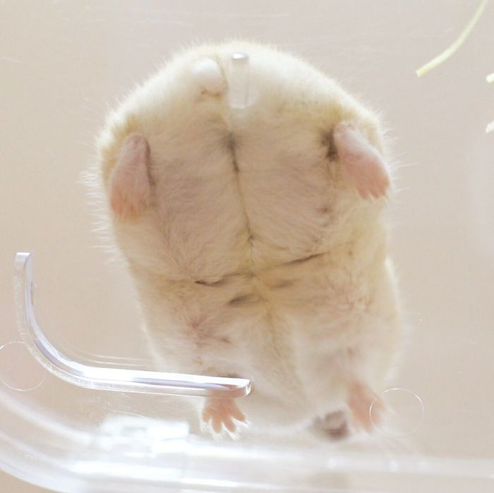 hamster butt from overhead perspective