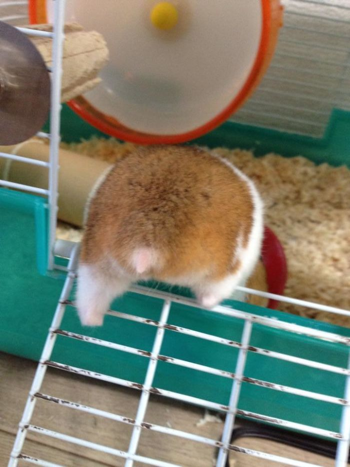 hamster clambers back inside his cage