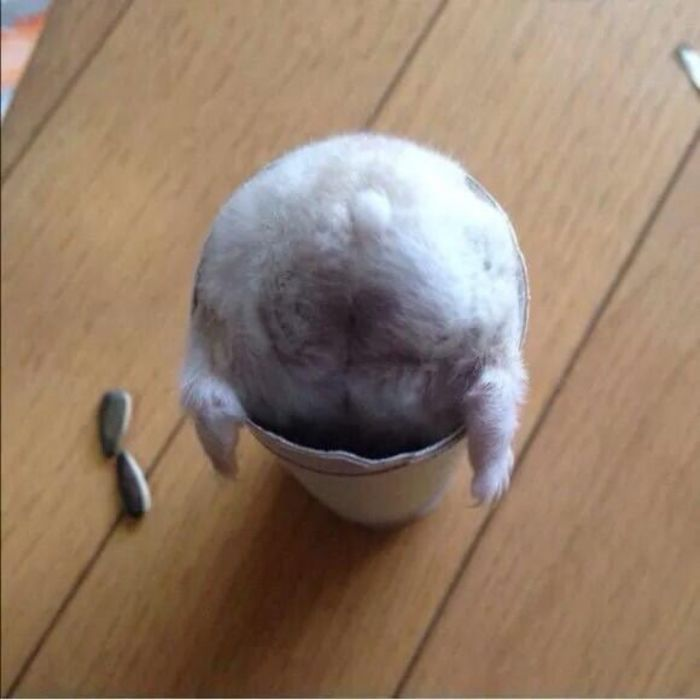hamster gets stuck in a paper roll bum-side up