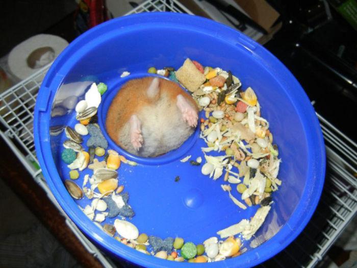 hamster gets stuck on its feeding dish