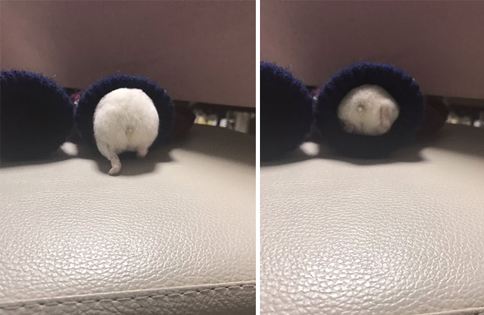 hamster squeezes into his sweater