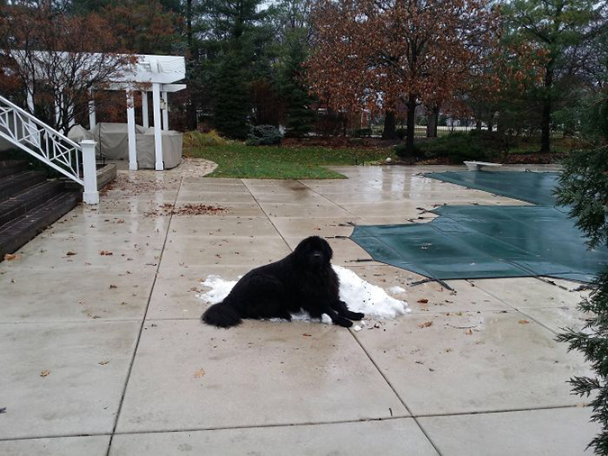 if there is snow a newfoundland will sit