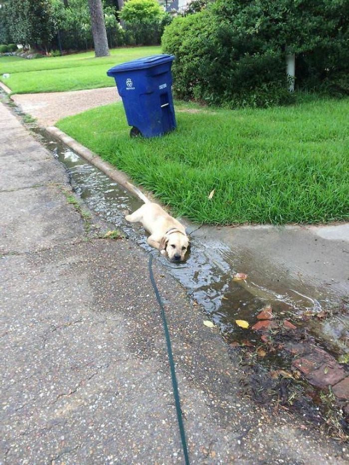 labrador rests in a puddle