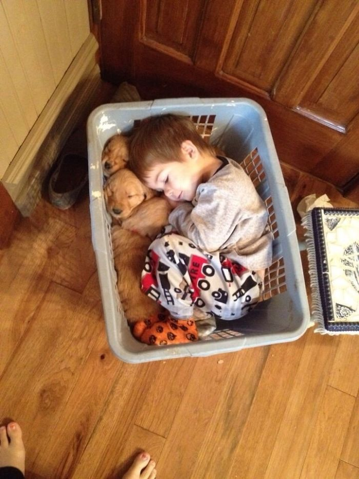 little boy sleeps together with his retriever puppy friends