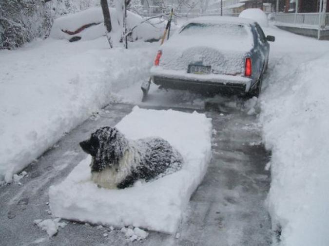 newfoundland forces owner to shovel snow around him