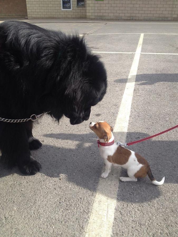 newfoundland meets a small dog