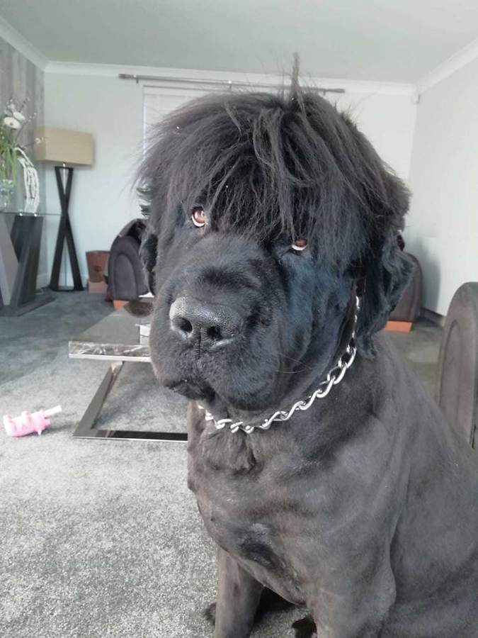 30 People Posted Funny Photos Of Their Newfoundlands And