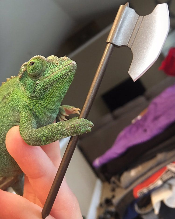 olive the chameleon holds a battle ax