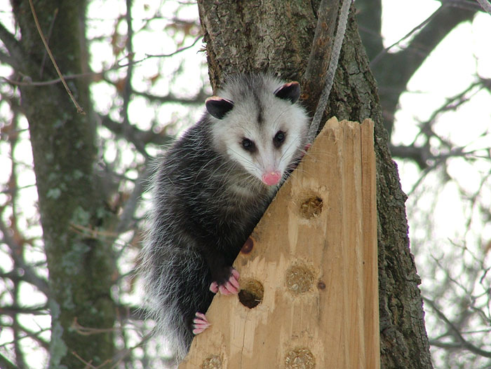 opossum cute