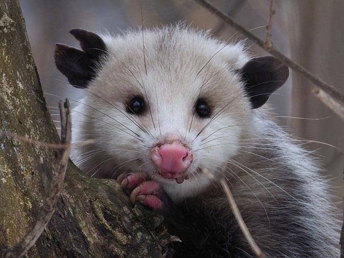 opossum looks like rodent