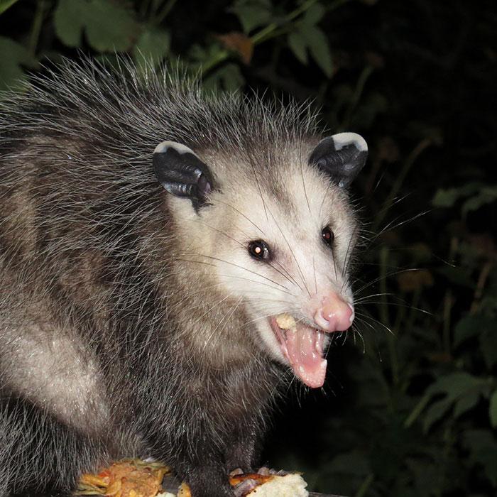 opossum wild